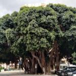 Ficus en Avda. Gamonal