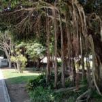 Ficus sp. en parque de la Avda. Terramar